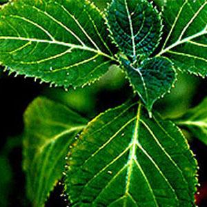 yohimbe-plant