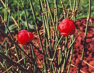 ma-huang-Ephedra-chinensis-seed-plant-2